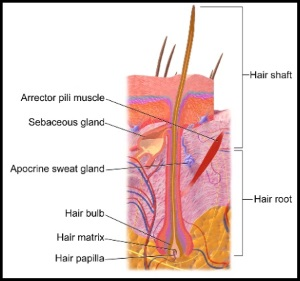 Nutrients Need to Make their Way to the Follicle